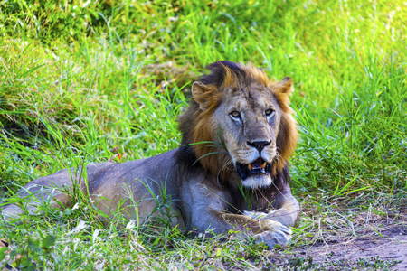 resting: Resting Male Lion