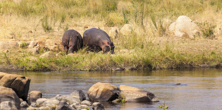 Hippos By The Water In Africa