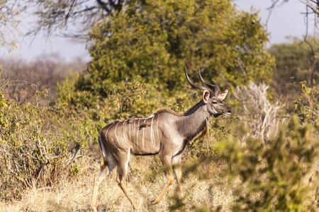 A majestic male Kudu bull Tanzania Africa