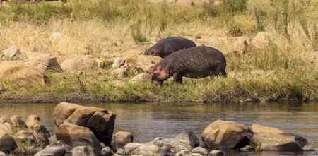 Hippos - Serengeti Wildlife Conservation Area, Safari, Tanzania, East Africa