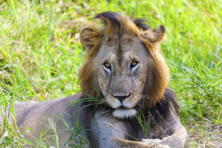 resting: Resting Lion Close Up