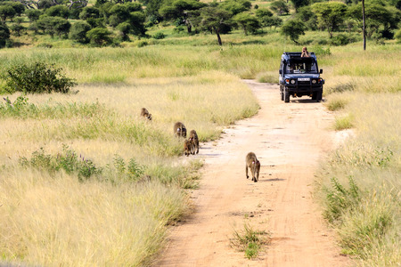 anubis: SERENGETI MAT. PARK TANZANIA MAY 22 2013:A group of olive baboons on the track while people absorbing them from a 4X4 (Papio Anubis) in Serengeti National Park, Tanzania