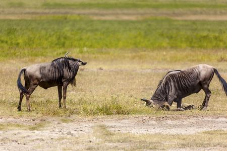 Wildebeest herds during migration in Serengeti national park Tanzania Africa Stock Photo