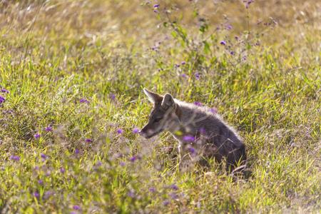 monogamous: View of black-backed jackal in African desert