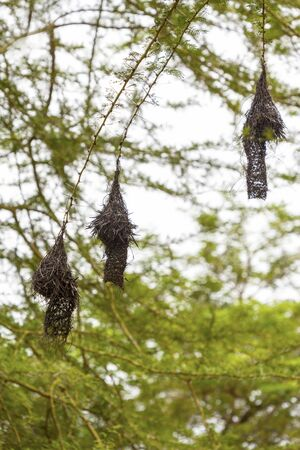 Weaver's nests on the tree