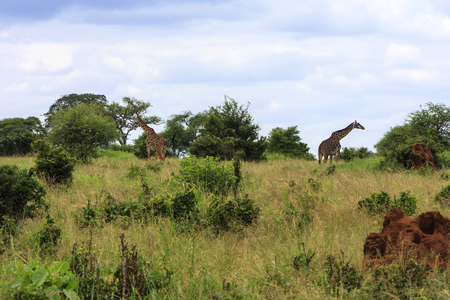 Giraffes In The Wilderness Of Africa Stock Photo
