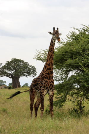 Grazing Giraffe In The Wild Stock Photo