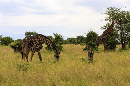 Grazing Giraffes In Tanzania