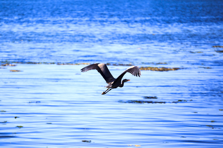 victoria bc: Flying Blue Heron Over Blue Pacific Ocean Stock Photo