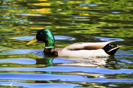 pato real: Pato de la natación del pato silvestre Foto de archivo