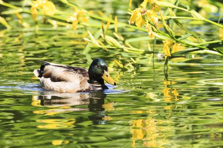 pato real: La alimentación del pato silvestre
