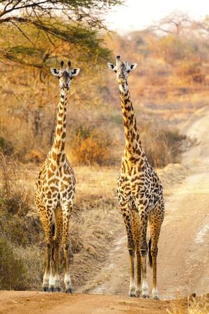 Giraffes in the Wild giraffes wildlife animals together affections in their grassland habit wilderness reserve terrain. Tanzania Africa Stock Photo