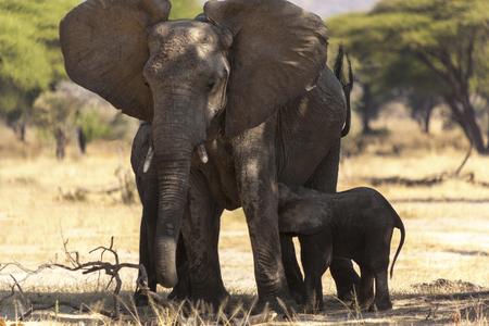 Elephant Serengeti National Park Tanzania Africa