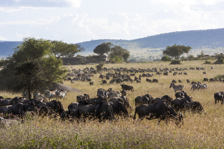 tanzania antelope: Wildebeest herds during migration in Serengeti national park Tanzania Africa Stock Photo