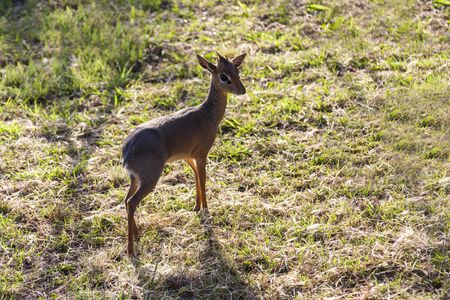 Damara dik-dik in Tanzania. The smallest antelope. Tanzania Africa 版權商用圖片
