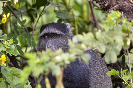 Vervet or Green monkey, Chlorocebus pygerythrus, single mammal close up, Tanzania Stock Photo