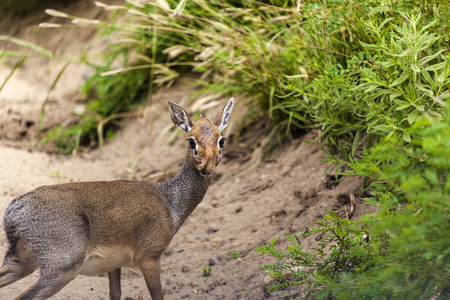 tanzania antelope: Damara dik-dik in Tanzania. The smallest antelope. Tanzania Africa Stock Photo