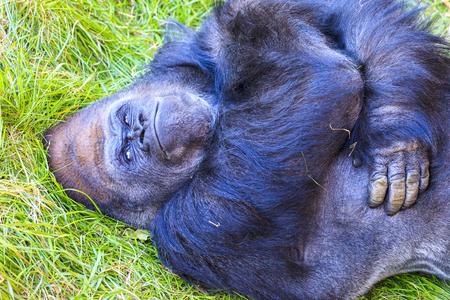 Gorila de tierra baja adolescente Foto de archivo