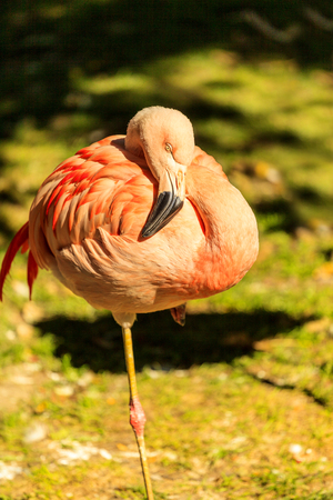 Pink flamingo standing on one leg against green background