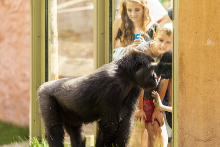 JULY 27 2014 - CALGARY CANADA: Young people visiting the Calgary Zoo at the gorilla encloser. Calgary Zoo have a great standard and offers to visitors more than just simple viewing a species.