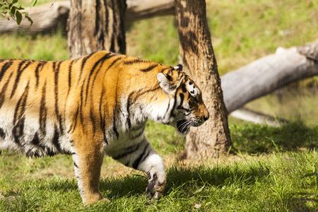 Tigre en la naturaleza Foto de archivo