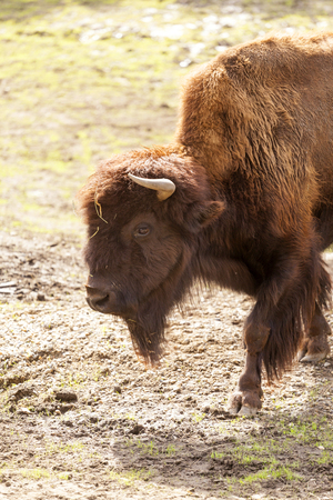 Bison in Northern Canada Stock Photo