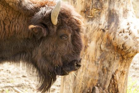 Bisonte en el norte de Canadá