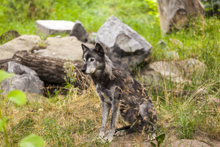 Grey Wolf Banque d'images