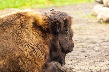 Resting Bison in Northern Canada Foto de archivo