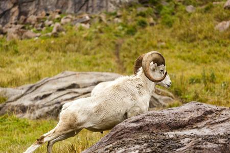 Majestic Dall Sheep Resting