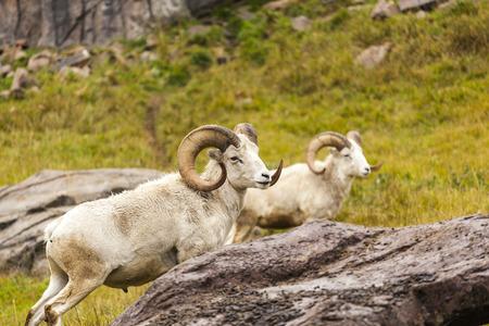 Majestueuze Dall schapen rusten Stockfoto