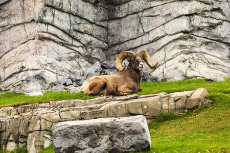 Bighorn Sheep Reklamní fotografie