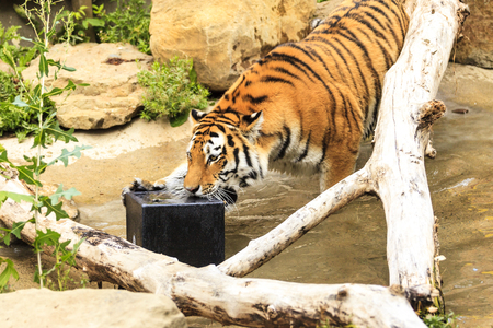 Tiger in a zoo Stock Photo