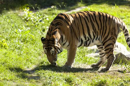 Tigre en la naturaleza