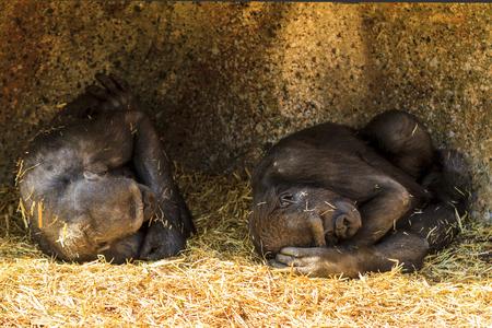 Dos jóvenes gorilas juguetones