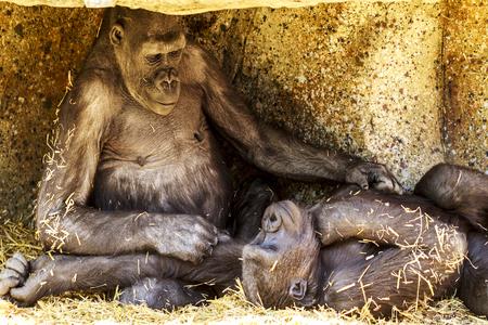Dos jóvenes gorilas juguetones Foto de archivo