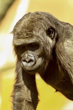 Adolescent low land female gorilla Standard-Bild - 114273391