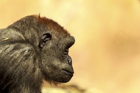 Adolescent low land female gorilla