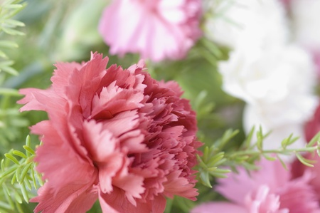 Close-up of Carnation flowers photo