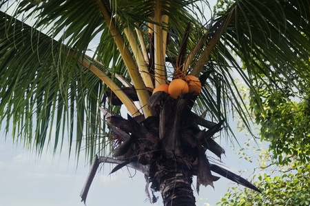Low angle view of coconuts on a tree, Kerala, India photo