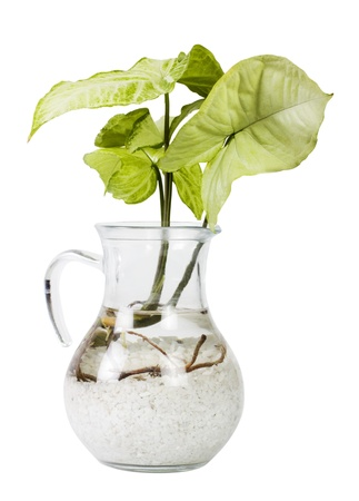 Close-up of a plant from Philodendron family Stock Photo - 10236882