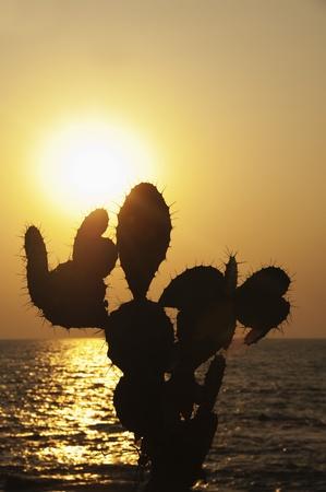 Silhouette of prickly pear cactus on the coast, Goa, India Stock Photo
