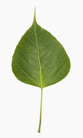 Close-up of a pipal leaf Stock Photo - 10236994
