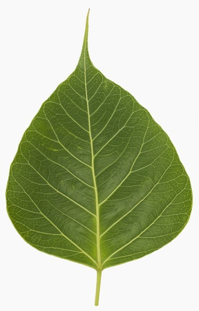 Close-up of a pipal leaf