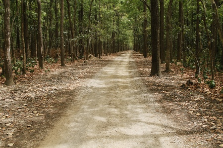 national forests: Dirt road passing through a forest, Jim Corbett National Park, Nainital, Uttarakhand, India