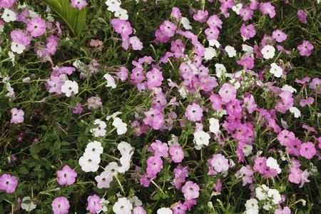Flowers blooming in a garden, Jim Corbett National Park, Nainital, Uttarakhand, India