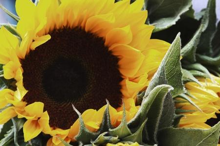 helianthus annuus: Close-up of a sunflower (Helianthus annuus), Republic of Ireland