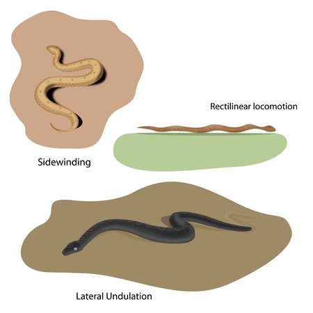 Lateral Undulation, Rectilinear and Sidewinding locomotion of snakes