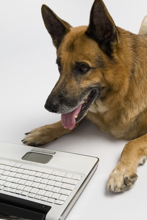 German Shepherd dog using a laptop Stock Photo - 10245783