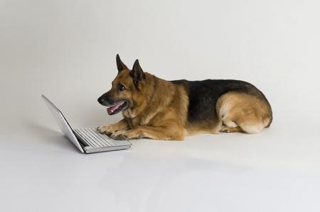 German Shepherd dog using a laptop Stock Photo - 10245671